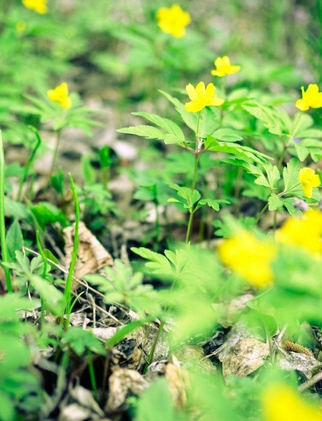 Bergstigen gulsippor